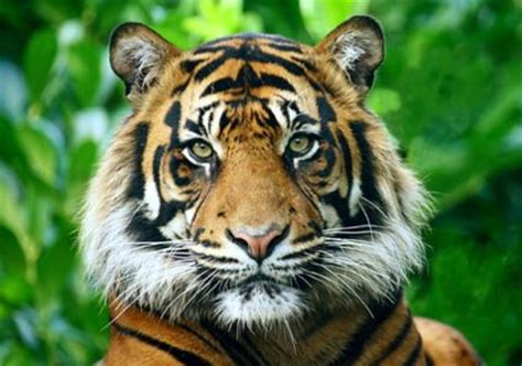 From the Forums: Will China Save the Tigers? | TreeHugger