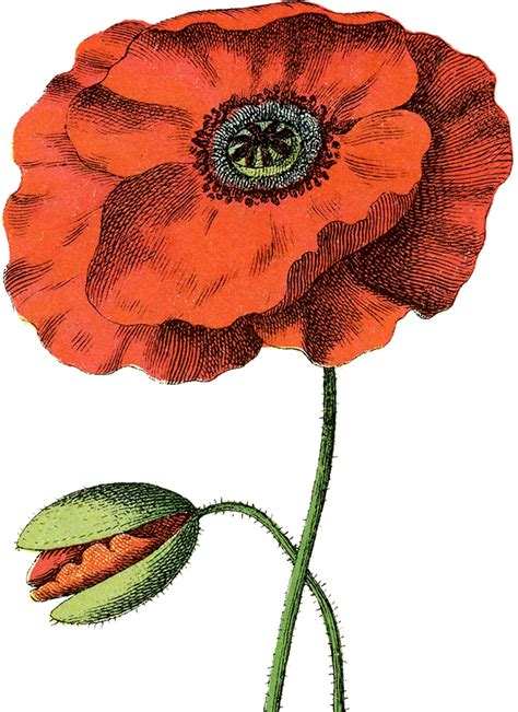 8 Poppy Images - Gorgeous! - The Graphics Fairy