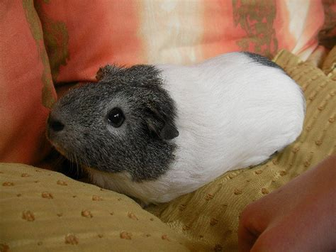 Choosing The Right Guinea Pig - Everywhere