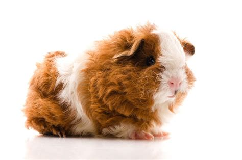 Texel For Sale | Guinea Pigs | Breed Information | Omlet
