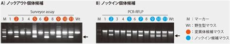 Cas9 ヌクレアーゼ Cas9 Nuclease protein NLS