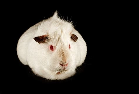 Agouti For Sale | Guinea Pigs | Breed Information | Omlet