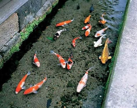 Koi Fish in Drainage Canal in Japan – Design Swan